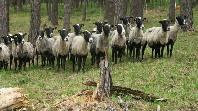Lesní pastva ovcí na hadcích u Želivky.