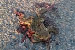 Tyto přejeté žáby nafotil redaktor Benešovského deníku nedaleko Podhajského rybníku v pátek 10. dubna ráno.