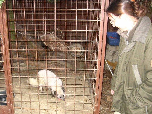 Bílá liška chovaná původně na nějaké  farmě  pro vzácnou kožešinu, by v přírodě nepřežila