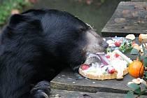 Konopišťský medvěd Jirka při narozeninové oslavě.