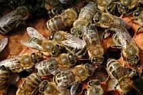 Včelí mor děsí včetaře i na Benešovsku.