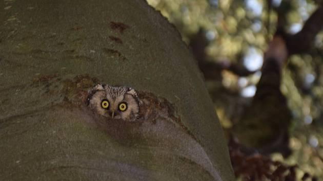 Sýc rousný, který patří mezi menší druhy sov v obsazené dutině stromu na Voticku.