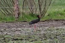 Laguna na pastvě u Libouně se stala rájem ptáků.