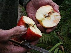Jablko napadené obalečem jabloňovým.