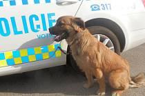 Psa nalezla městská policie v sobotu v ulici Riegrova ve Voticích.