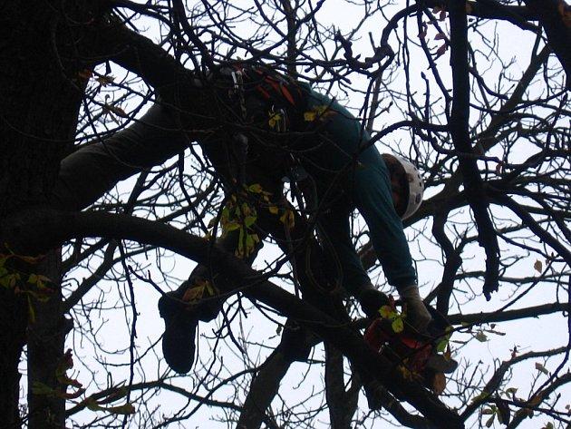 Dřevorubci zkrášlovali Táborskou ulici