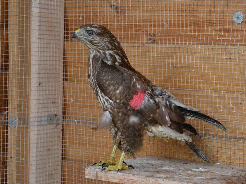 Poraněnému káněti zafixovala veterinářka veterinářka Martina Vondráčková zlomené křídlo kostním drátem.