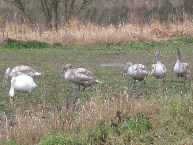 U Neveklova se pásly labutě