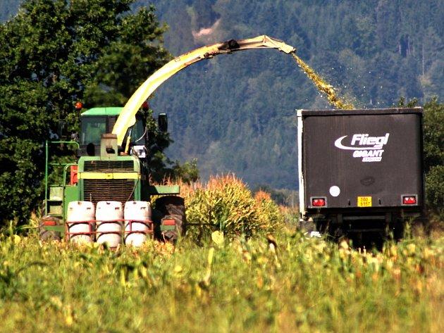 Více než počasí, ničí úrodu kukuřice stáda divokých prasat.