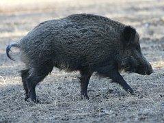 Divoká prasata se často nekontrolovatelně rozmnožují.