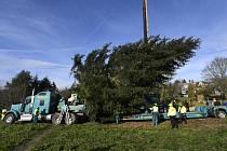 V Kamenném Přívozu v neděli pokáceli vánoční strom, který bude umístěný na Staroměstském náměstí v Praze.