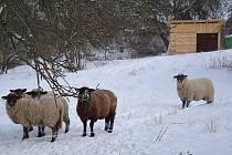 Ovečky se už nemusí bát zimy. Ochránci přírody jim totiž zajistily novou salaš.