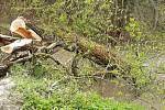 Strom padlý na lávku (Benešovsko) v polovině května 2021.