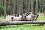 Třicet ovcí se pase v lese nedaleko nádrže s pitnou vodou pro Prahu.