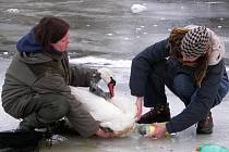 Přes den hladina rybníků částečně rozmrzne, silný noční mráz však labutě často uvězní. Bez pomoci ochranářů by labutě uhynuly