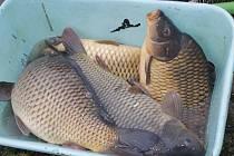 Rybáři třídili kapry pro předvánoční prodej.