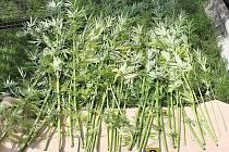 Kriminalisté zabavili 133 rostlin konopí setého a sušenou drť.