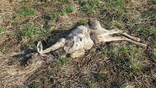 Týrat mohou lidé i volně žijící zvířata.