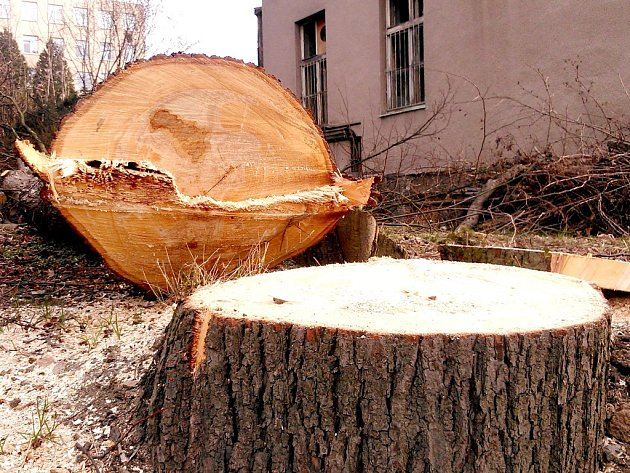 Kácení stromů v benešovské nemocnici.