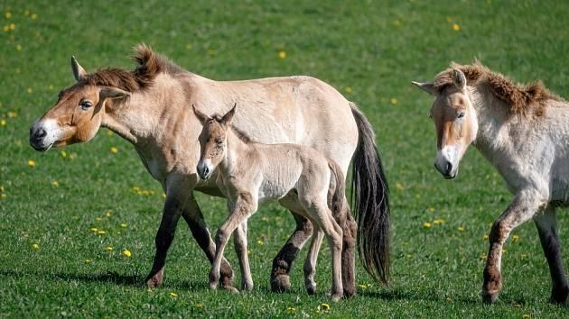 Boom hříbat koně Převalského v Dolním Dobřejově. Mezi čtyřmi hříbaty je pouze jeden hřebeček. Narodil se v pondělí klisně Rosině a na snímku ho doprovází i roční Yzop.