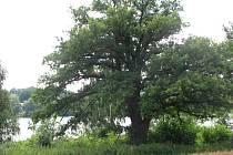 Památný dub stojí u cesty z Postupic do Lhoty Veselky