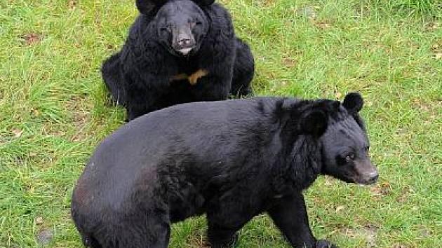 Medvědi na zámku Konopiště