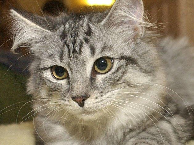 V Benešově se ztratila mourovatá kočka. Kde ji hledat vědí na benešovské radnici.
