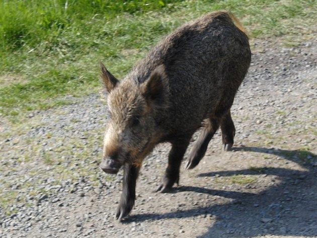 Divoká prasata trápí nejen zemědělce, ale i myslivce.