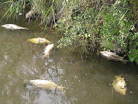 Uhynulé ryby