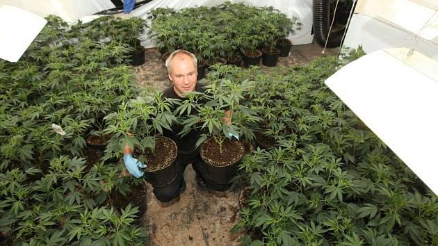 MARIHUANU si někteří lidé tajně pěstují. I ve velkém. Ilustrační foto