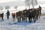 Pondělní odchyt zanedbaných koní u Jankova.