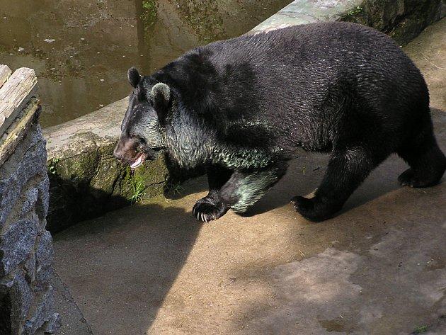 Medvědice Máša v době, kdy ještě mohla chodit.