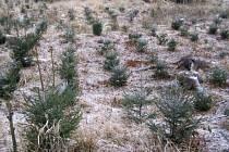 Výstavba nových smrkových a jiných jehličnatých monokultur samozřejmě pokračuje i na Benešovsku