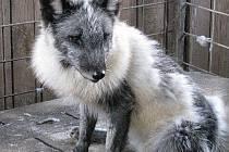 Zranění zvířat bývají různá. Dojemný je případ lišáka, který utekl z farmy, kde jsou zvířata jeho druhu chována na kožešinu