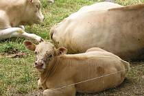 """Ilustrační foto: Mladý dobytek se často stává terčem krádeží. Získané maso často zloději odprodávají """"pod rukou"""" do hospod"""