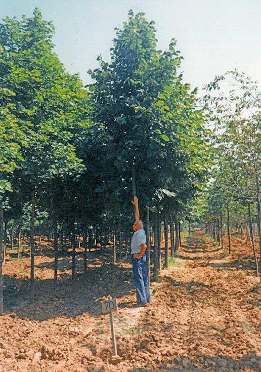 Nové lípy, které nahradily prosychající a už nebezpečné stromy, vybíralo v Maďarsku vedení benešovské radnice. Na snímku výšku stromu porovnává místostarosta Jiří Jandač.