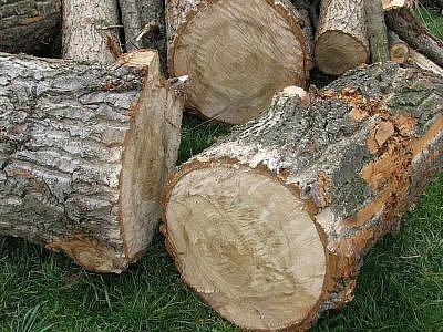 Pokácené stromy v Týnci nad Sázavou.
