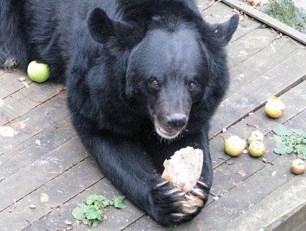 Konopišťský medvěd Jirka.