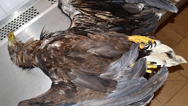 Orel mořský uhynul po zásahu elektřinou.