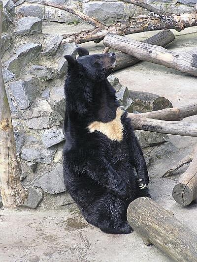 Medvěd Kazimír žil na zámku Konopiště 13 let