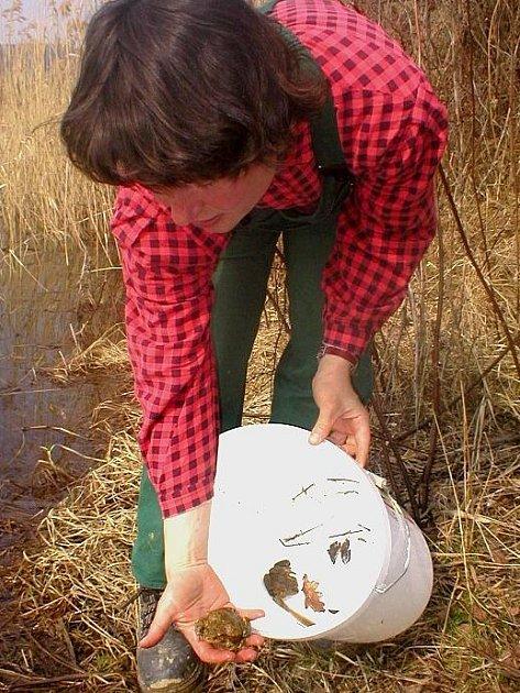 Poté, co Daniela Mročková s žábami ve sběrné nádobě překoná silnici, vpustí zachycené živočichy do vodního prostředí, aby se obojživelníci mohli spářit a přivést na svět další generaci ohroženého druhu