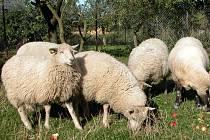 Na likvidaci neobdělávaných travních porostů jsou nejlepší ovce