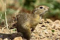 ysel žije v oblastech s krátkými trávníky, kde má dobrý přehled o možném nebezpečí.