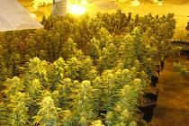 Jedna ze zlikvidovaných pěstíren produkovala sto rostlin v jedné sklizni.