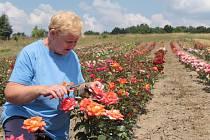 Vedoucí ovocné školky Školního statku Benešov Jiřina Padevětová při ošetřování růží. Ve školce jich pěstují 38 druhů.