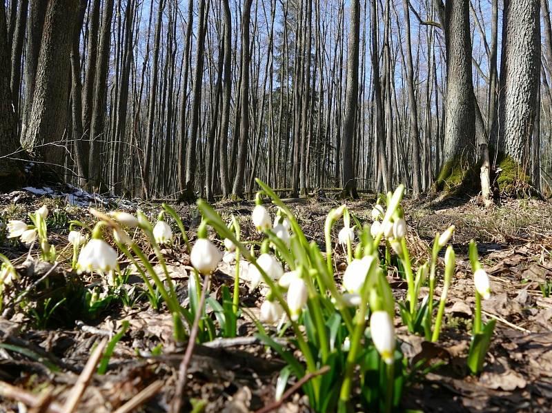 Bledule jarní v Olších u Miličína.