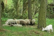 Ovce a kozy vypásající přírodní památku Na Ostrově u Nemíže