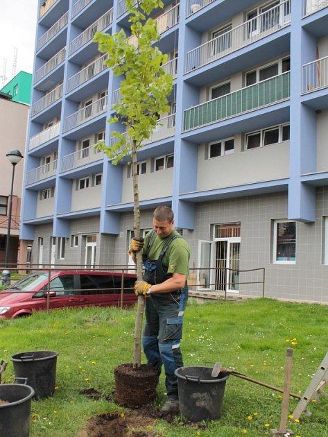 Sázení stromů v Benešově v ulici F. V. Mareše.