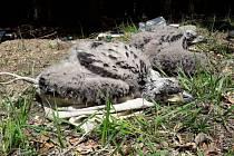Mláďata orla mořského kroužkovaná ornitology.