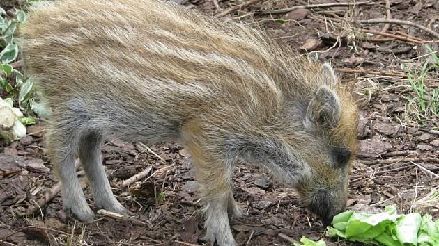 Mládě divokého prasete narozené na sklonku zimy má na podzim téhož roku svá vlastní selata.